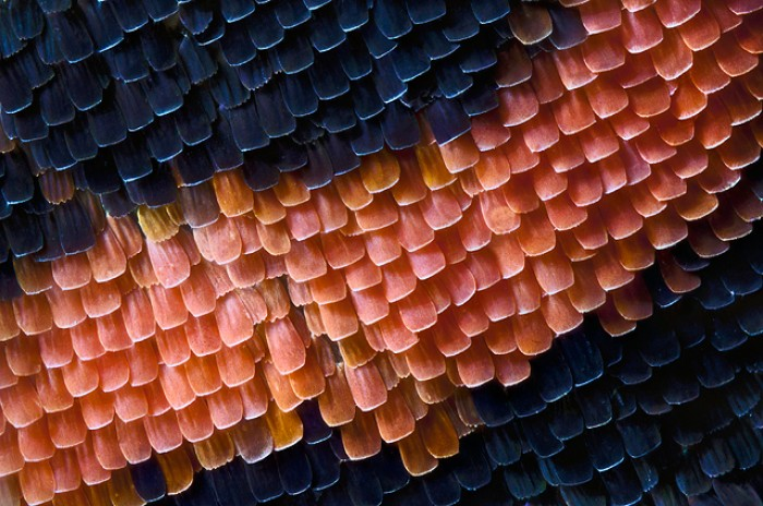 Wing scales of the Red Admiral butterfly
